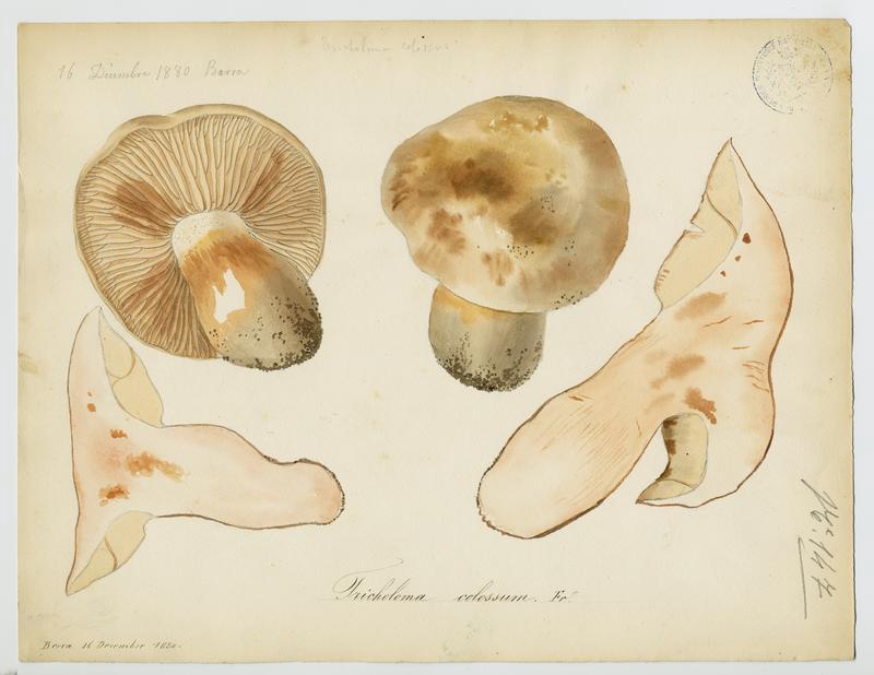 Tricholome colosse ; champignon_0