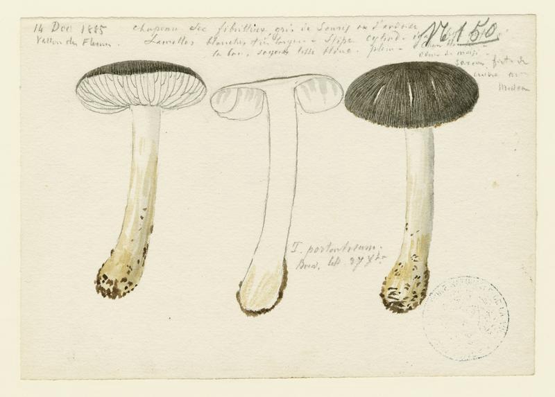 Tricholome prétentieux ; champignon_0