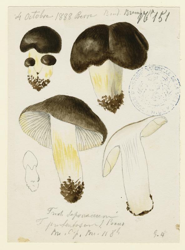 Tricholome savonneux ; Tricholome à odeur de savon ; champignon