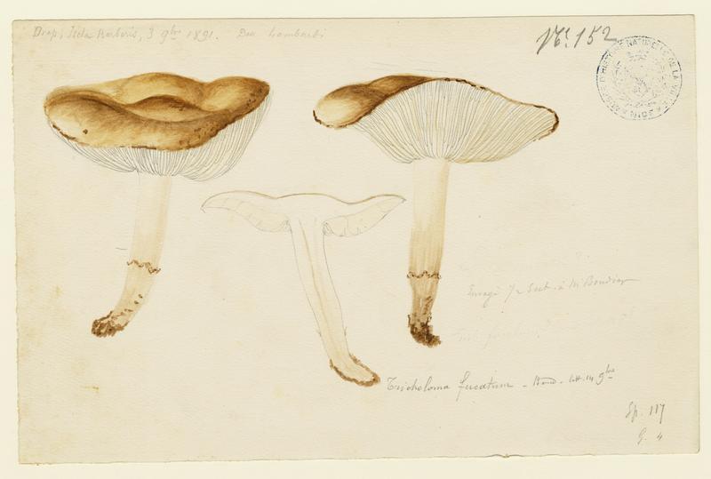 Tricholome de Joachim  (?) ; champignon_0