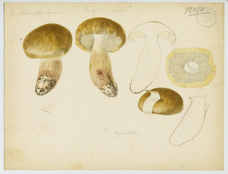 Tricholome jaunet ; Tricholome disjoint ; champignon