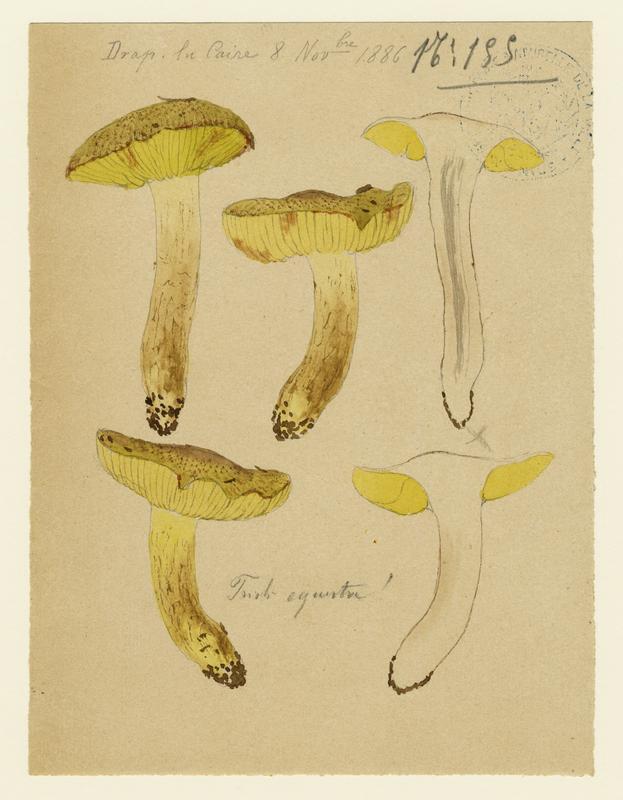 Tricholome équestre ; Tricholome des chevaliers ; Tricholome Chevalier ; champignon_0