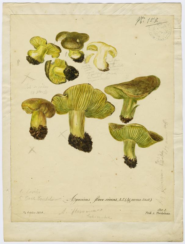 Agaric ; Geaunet ; champignon
