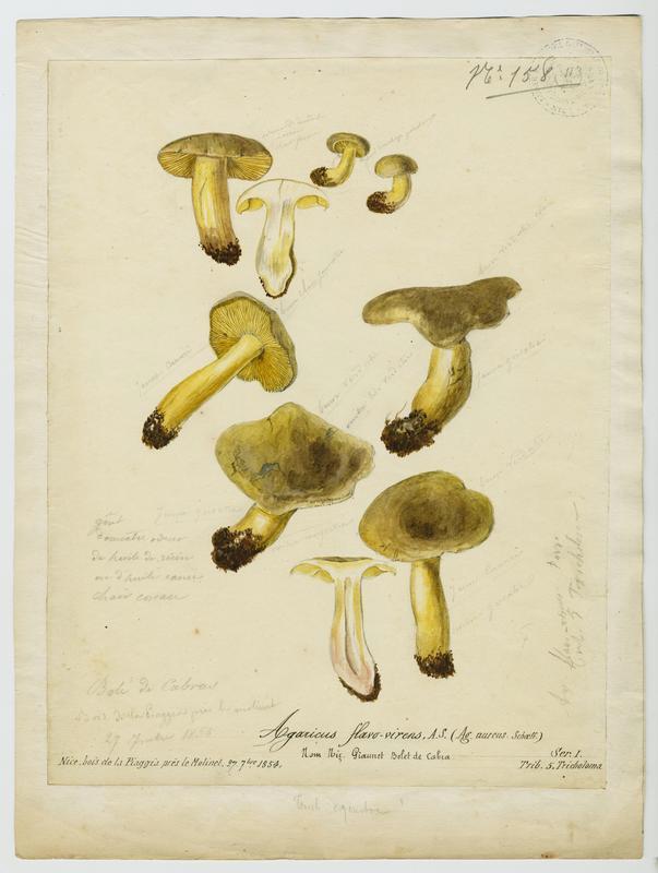 BARLA Jean-Baptiste (attribué à) : Agaric, Geaunet, champignon