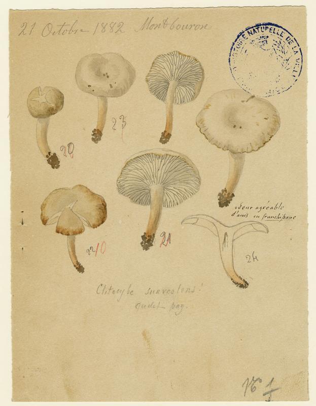 Clitocybe anisé pâle ; champignon