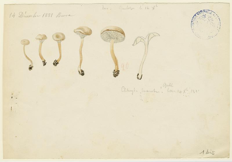 BARLA Jean-Baptiste (attribué à) : Clitocybe anisé pâle, champignon