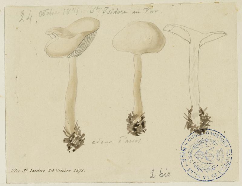 Clitocybe anisé pâle ; champignon_0