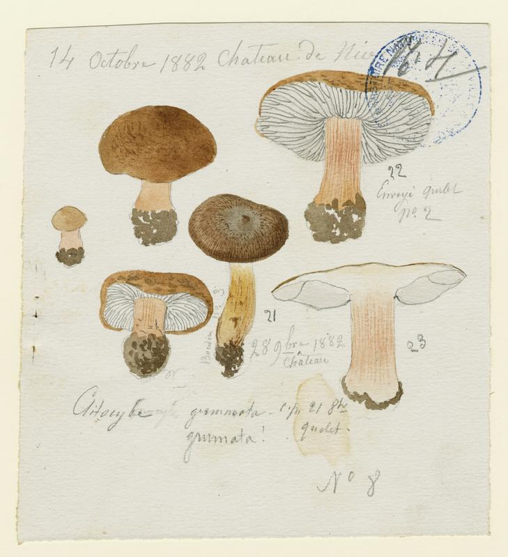 Clitocybe ; champignon