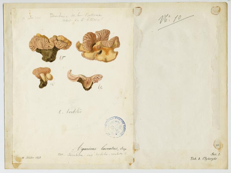 Laccaire laqué ; champignon