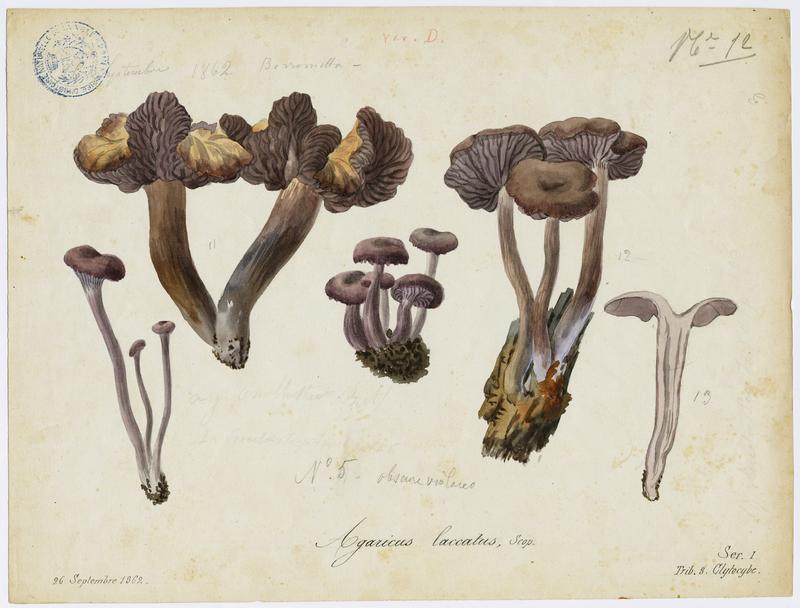 Laccaire laqué ; champignon_0