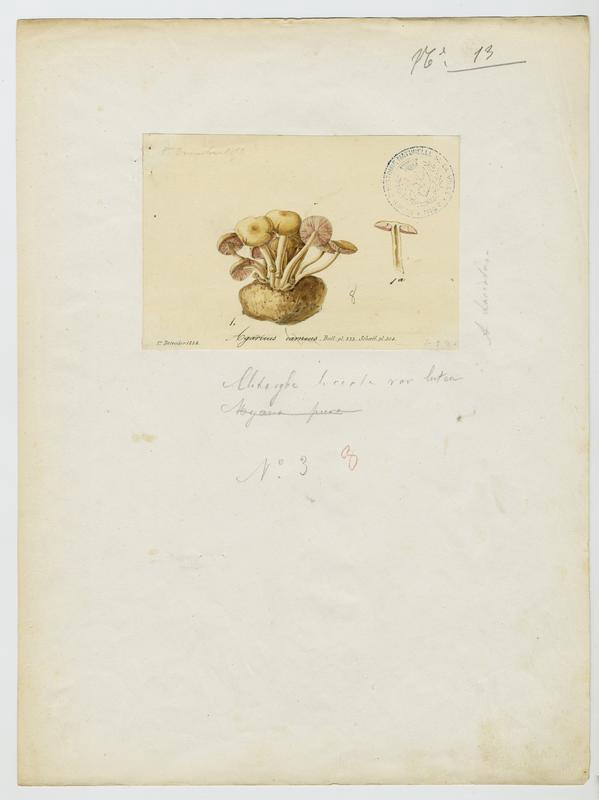 BARLA Jean-Baptiste (attribué à) : Collybie carnée, Calocybe couleur chair, champignon