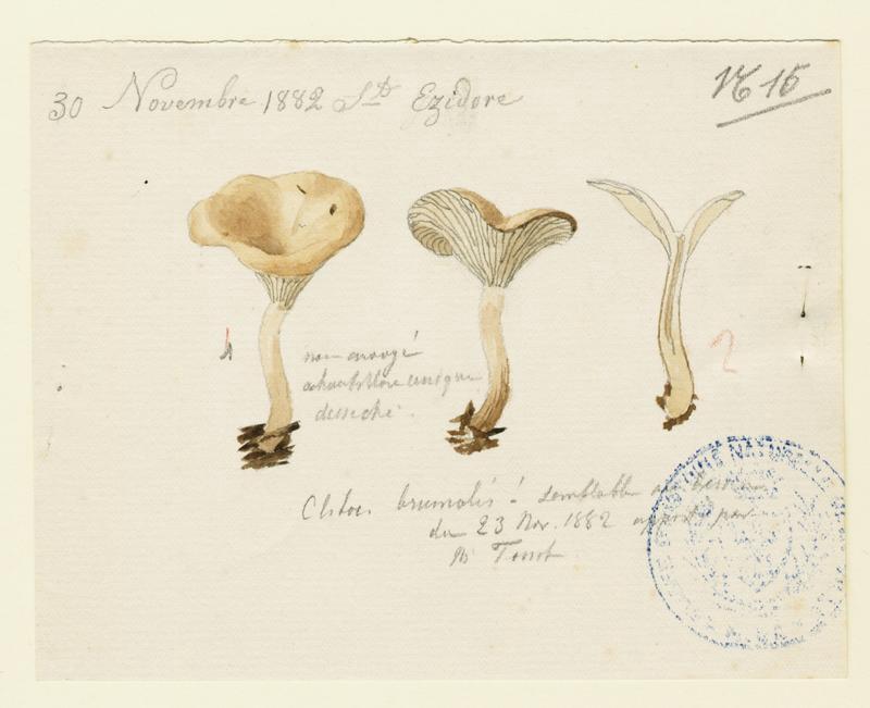 Clitocybe hivernal ; champignon_0