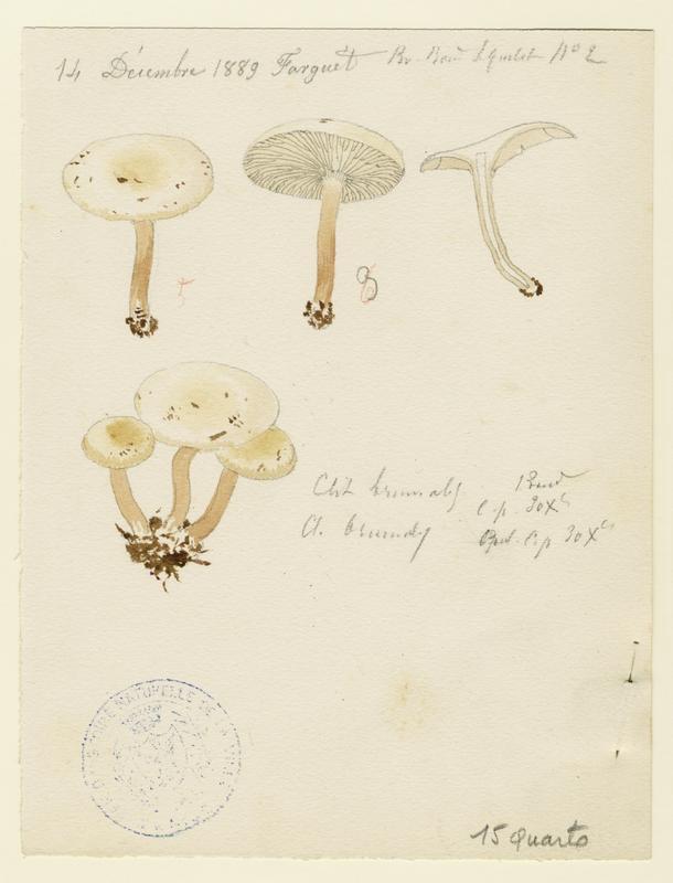 BARLA Jean-Baptiste (attribué à) : Clitocybe hivernal, champignon