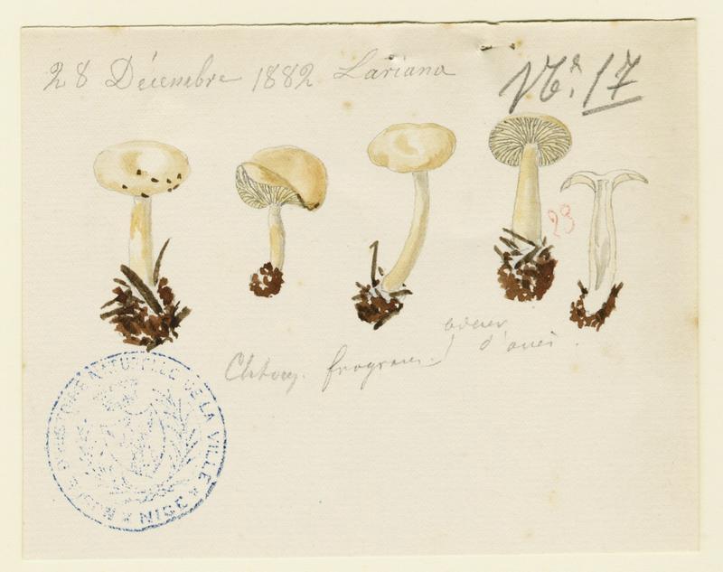BARLA Jean-Baptiste (attribué à) : Clitocybe anisé strié, champignon