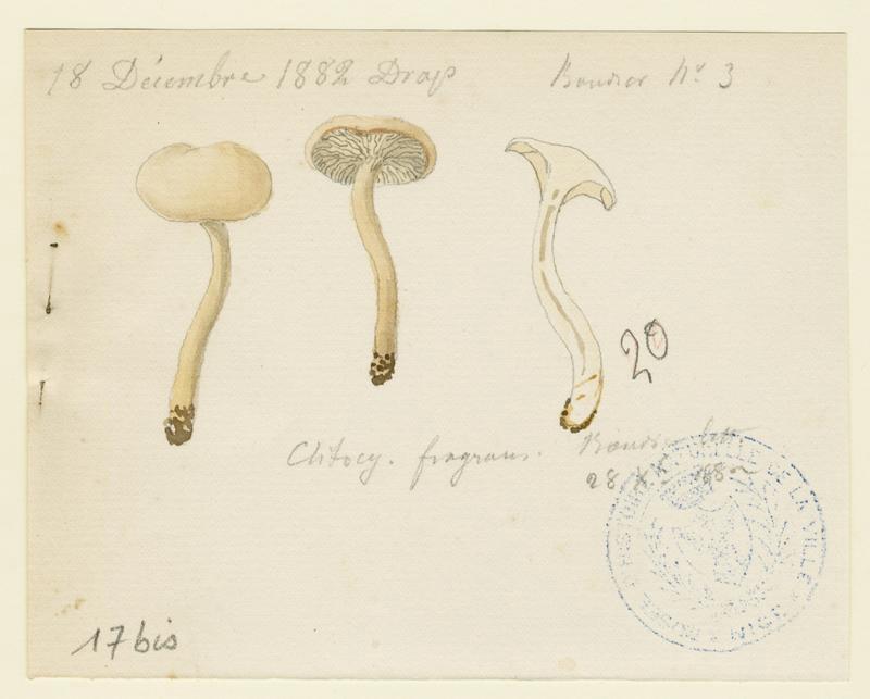Clitocybe anisé strié ; champignon