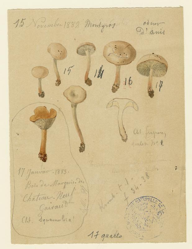 BARLA Jean-Baptiste (attribué à) : Clitocybe squamuleux, champignon
