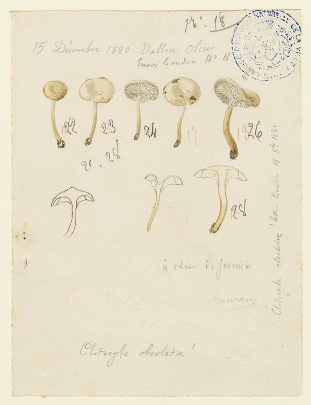 Clitocybe anisé rosâtre ; champignon_0