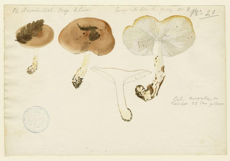 BARLA Jean-Baptiste (attribué à) : Clitocybe, champignon