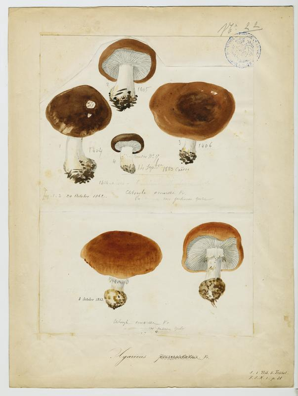 Tricholome farineux des pins ; champignon_0