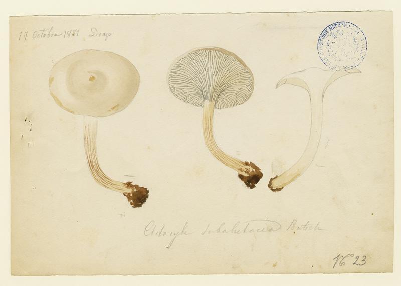 BARLA Jean-Baptiste (attribué à) : Clitocybe rufoalutacea, champignon