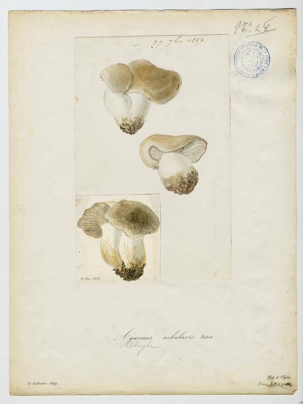 Clitocybe nébuleux ; Lera caniglia ; champignon_0