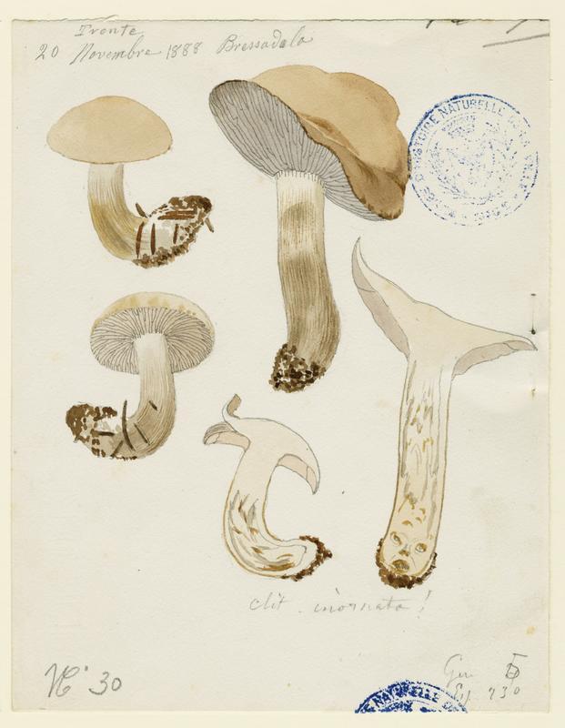 Clitocybe à odeur de poisson ; champignon