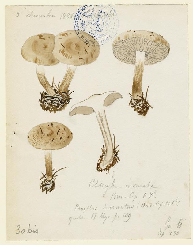 Clitocybe à odeur de poisson ; champignon_0