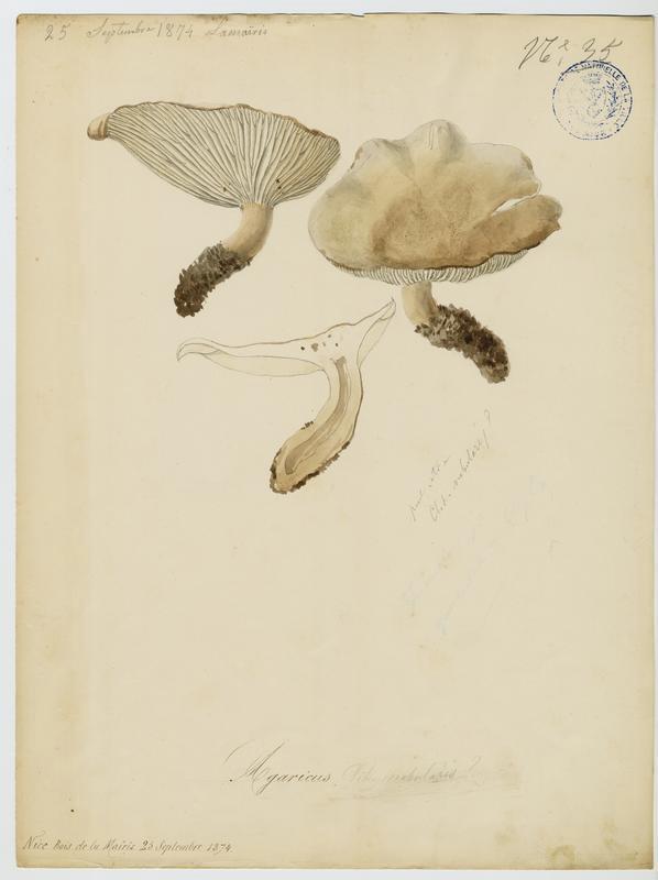 BARLA Jean-Baptiste (attribué à) : Clitocybe nébuleux, champignon