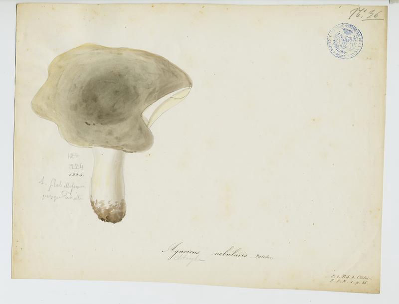 Clitocybe nébuleux ; Lera caniglia ; champignon