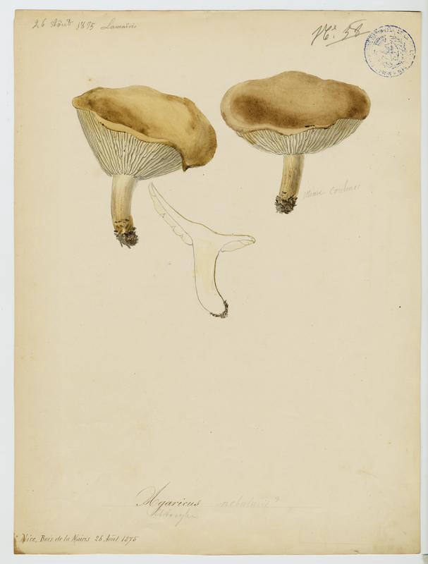 Clitocybe nébuleux (?) ; champignon_0
