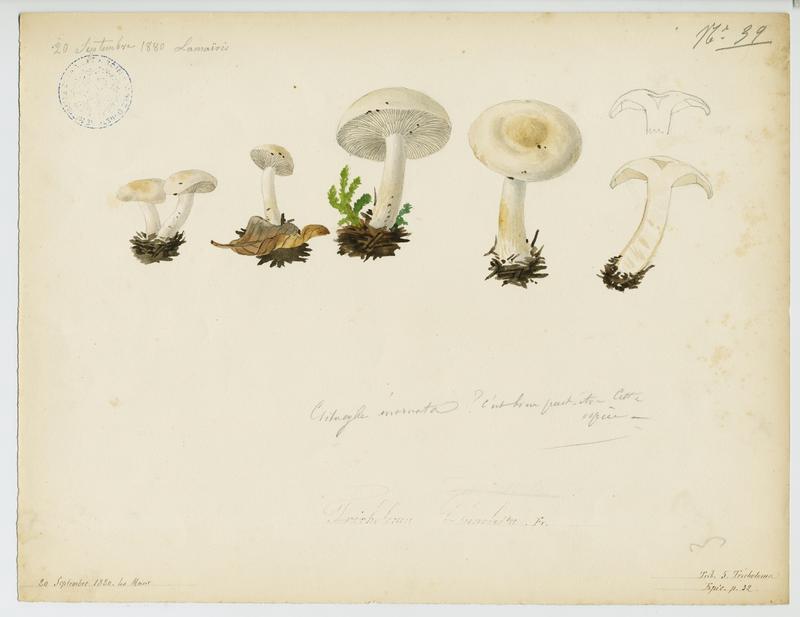 BARLA Jean-Baptiste (attribué à) : Clitocybe à odeur de poisson, champignon