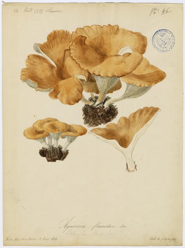 BARLA Jean-Baptiste (attribué à) : Clitocybe inversé des feuillus, champignon