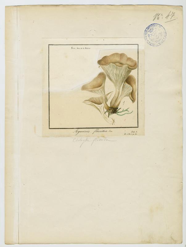 Clitocybe inversé des feuillus ; champignon_0