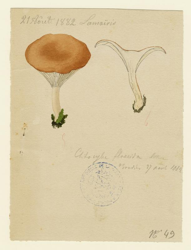 Clitocybe inversé (?) ; champignon_0