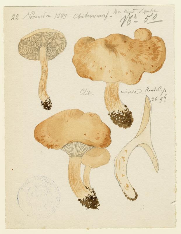 BARLA Jean-Baptiste (attribué à) : Clitocybe inversé, champignon