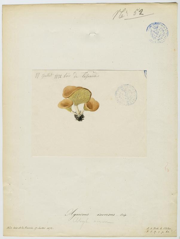 Clitocybe inversé ; champignon_0