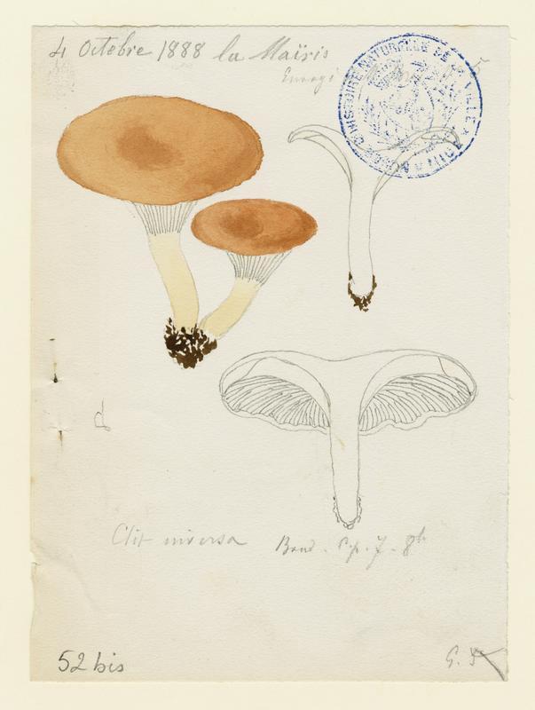 Clitocybe inversé ; champignon