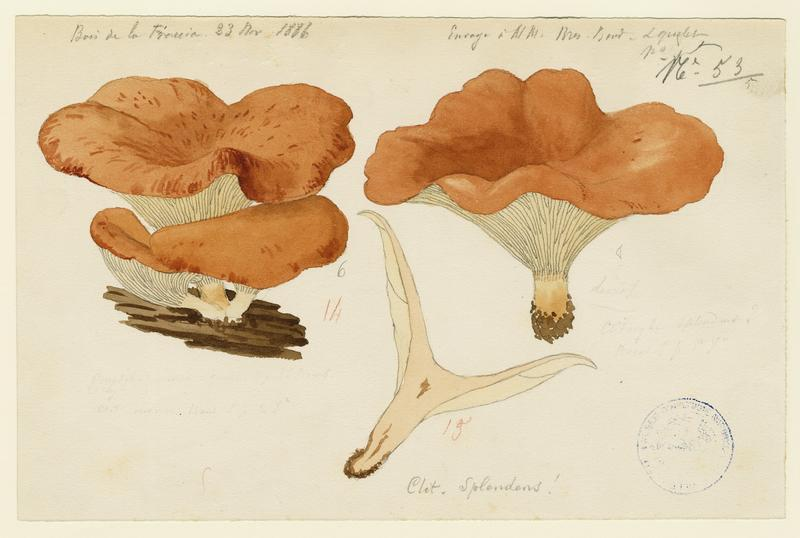 Clitocybe jaune (?) ; champignon