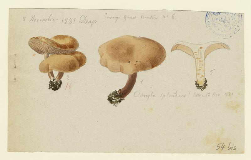 Clitocybe jaune (?) ; champignon_0