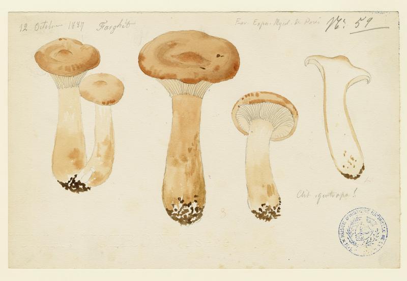 Clitocybe géotrope ;  Tête de moine ; champignon