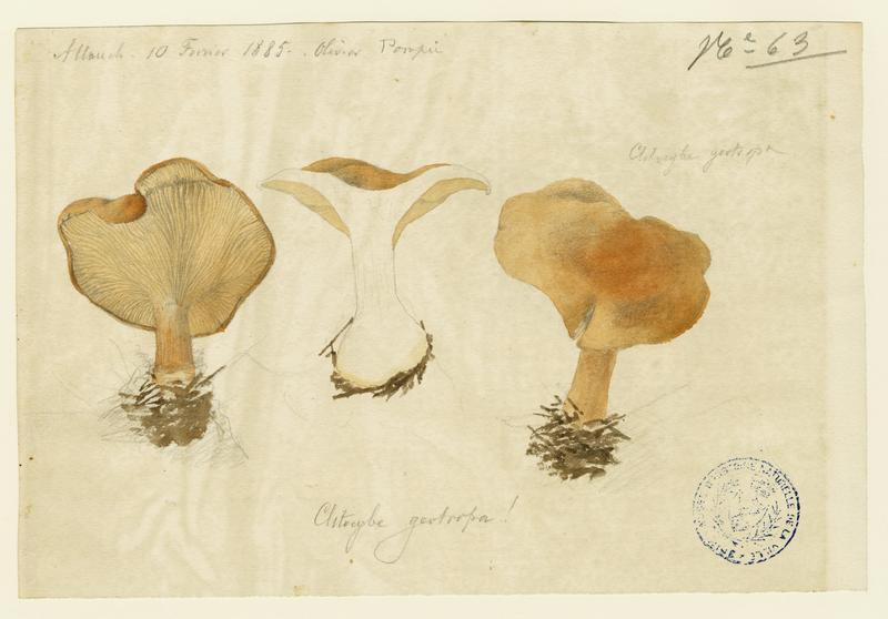 BARLA Jean-Baptiste (attribué à) : Clitocybe géotrope,  Tête de moine, champignon