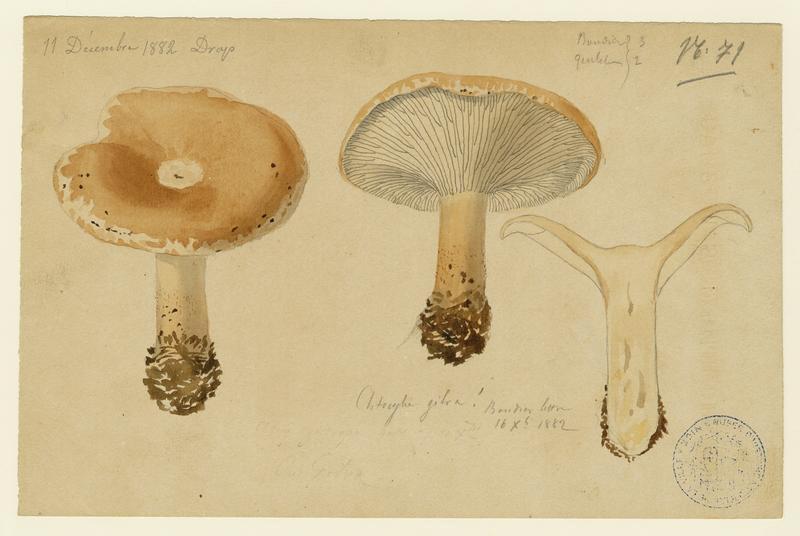 BARLA Jean-Baptiste (attribué à) : Clitocybe à guttules (?), Clitocybe jaunâtre (?), champignon