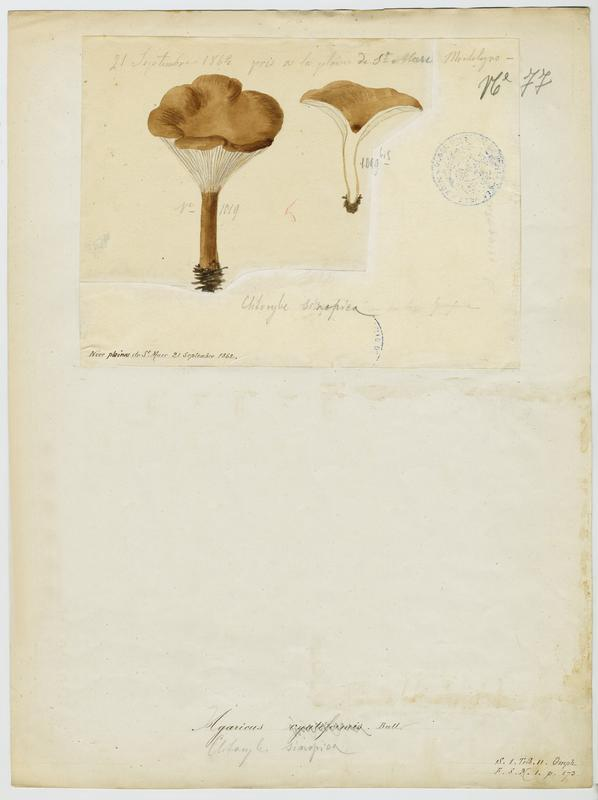 Clitocybe terre cuite ; Clitocybe rouge de Sinope ; champignon_0