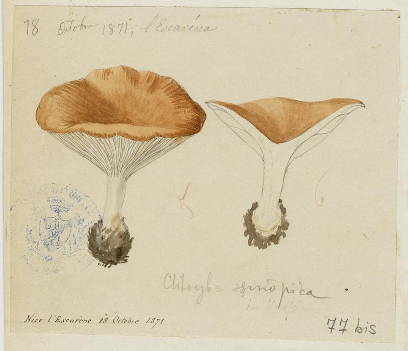 Clitocybe terre cuite ; Clitocybe rouge de Sinope ; champignon
