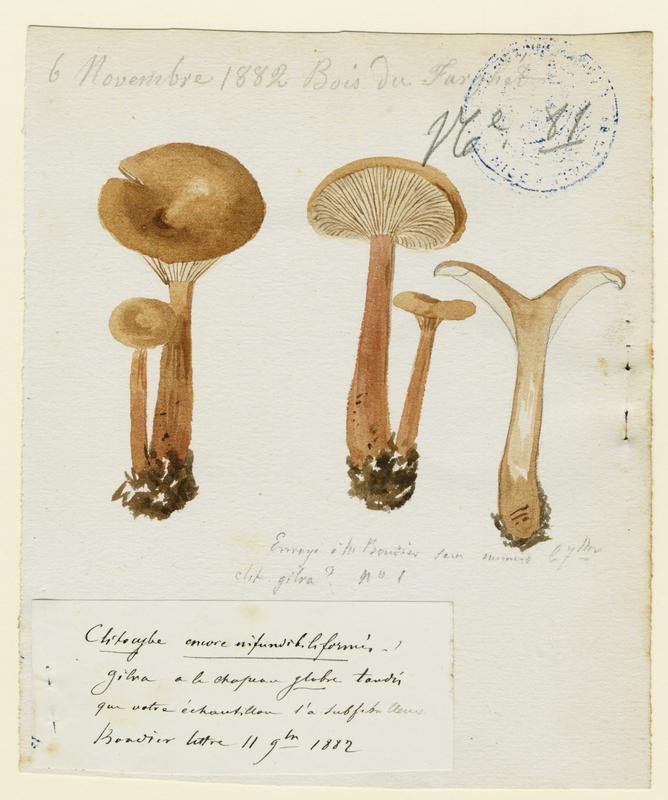 BARLA Jean-Baptiste (attribué à) : Clitocybe en entonnoir, champignon