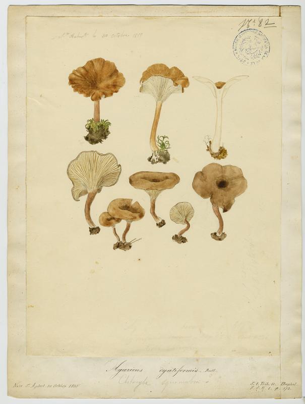BARLA Jean-Baptiste (attribué à) : Clitocybe en coupe, Clitocybe en vase, champignon