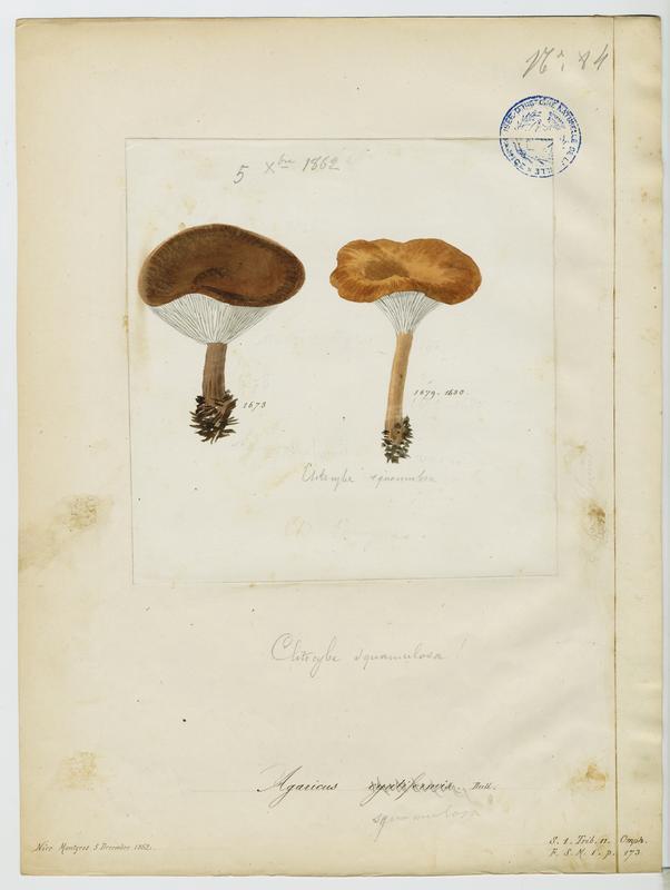Clitocybe en coupe ; Clitocybe en vase ;  champignon_0