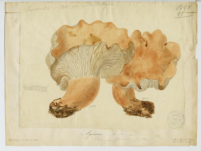 BARLA Jean-Baptiste (attribué à) : Leucopaxille géant (?), champignon