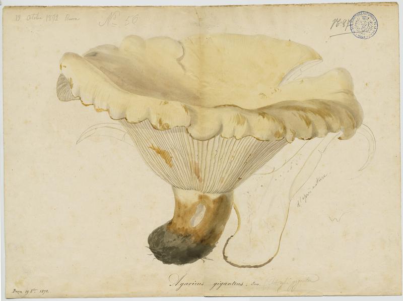 Leucopaxille géant  ; champignon_0