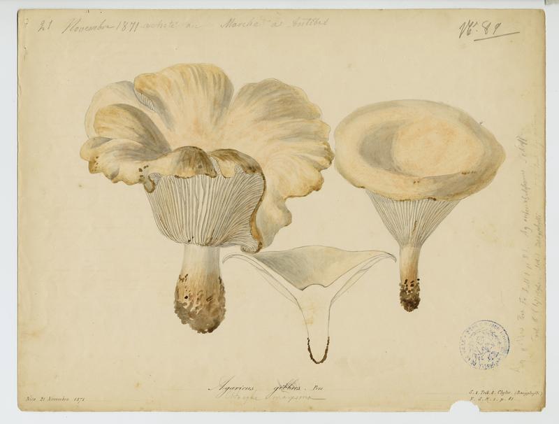 Clitocybe en entonnoir ; champignon_0